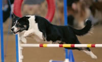 Rival jumping over a dog agility jump